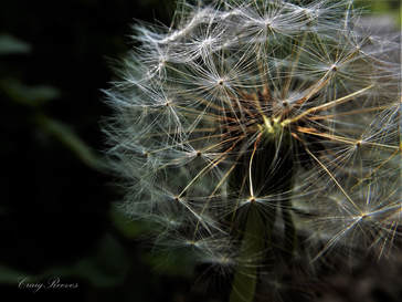 Dandelion Seeds by Craig Reeves Photiography